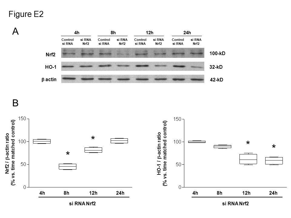 Nrf2 42-kD  actin 32-kD HO-1 100-kD Control si RNA si RNA Nrf2 Control si RNA si RNA Nrf2 Control si RNA si RNA Nrf2 Control si RNA si RNA Nrf2 4h8h12h24h Figure E2 A B 4h8h12h24h si RNA Nrf2 * * Nrf2 /  -actin ratio (% vs.