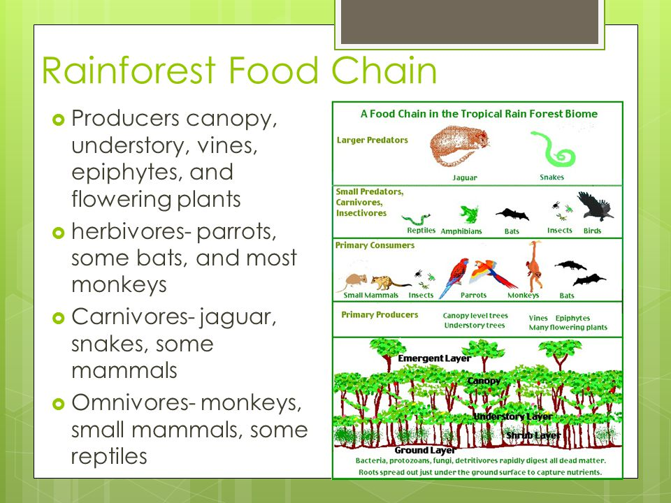Rainforest Food Chain  Producers canopy, understory, vines, epiphytes, and flowering plants  herbivores- parrots, some bats, and most monkeys  Carn
