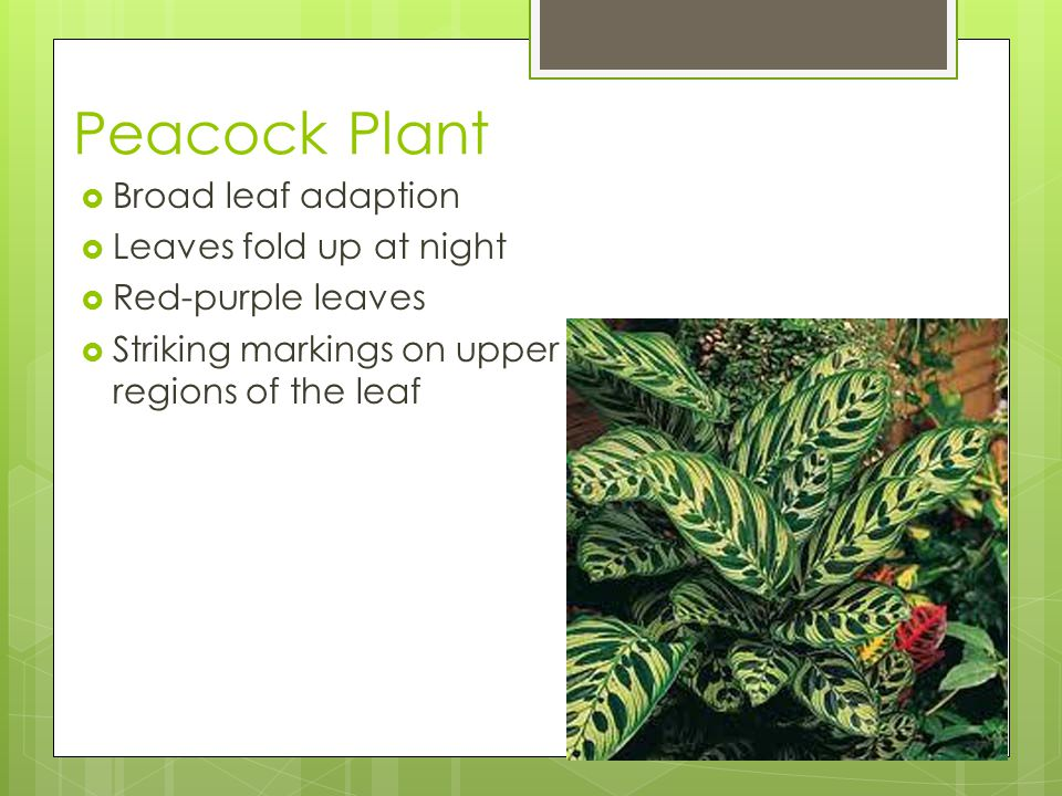 Peacock Plant  Broad leaf adaption  Leaves fold up at night  Red-purple leaves  Striking markings on upper regions of the leaf