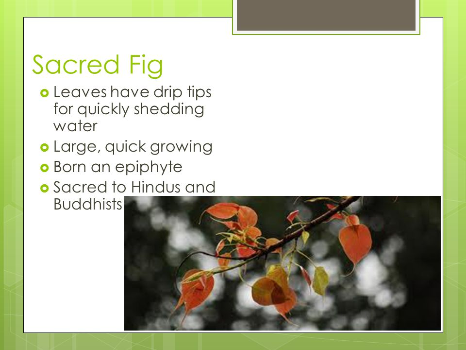 Sacred Fig  Leaves have drip tips for quickly shedding water  Large, quick growing  Born an epiphyte  Sacred to Hindus and Buddhists