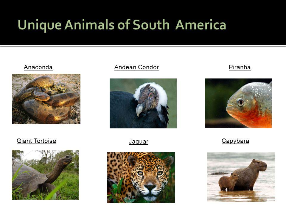 AnacondaAndean CondorPiranha Giant Tortoise Jaguar Capybara