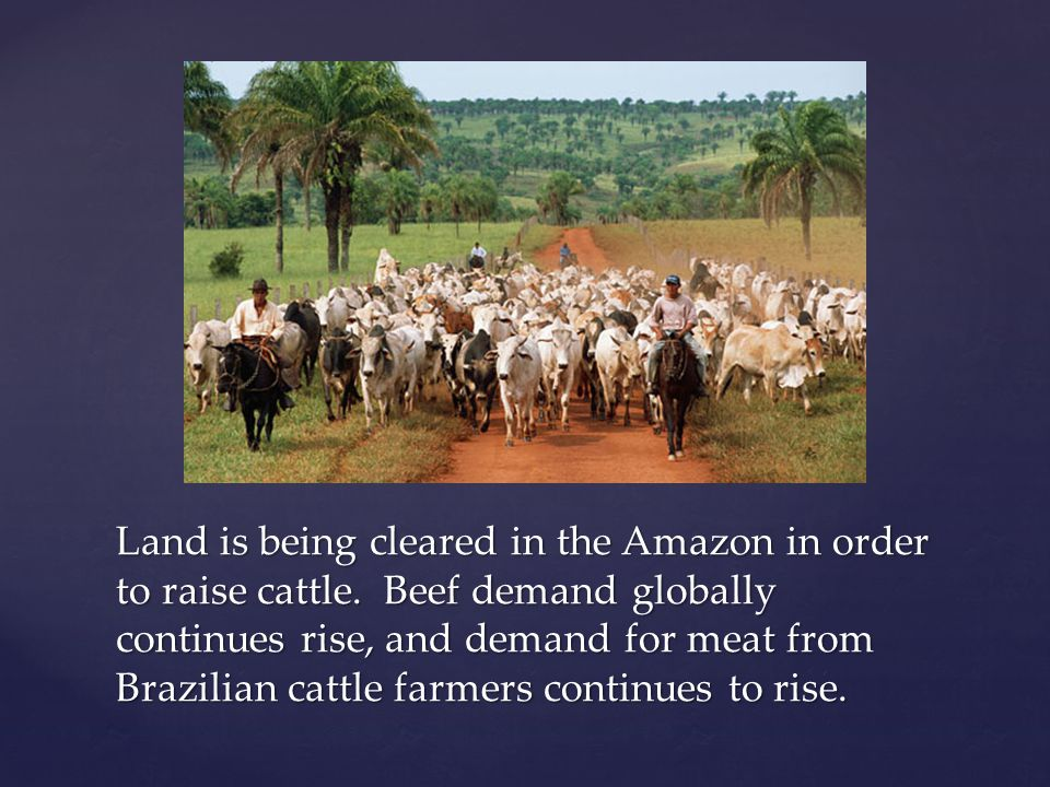 Land is being cleared in the Amazon in order to raise cattle.