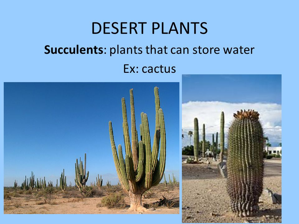 DESERT PLANTS Succulents: plants that can store water Ex: cactus