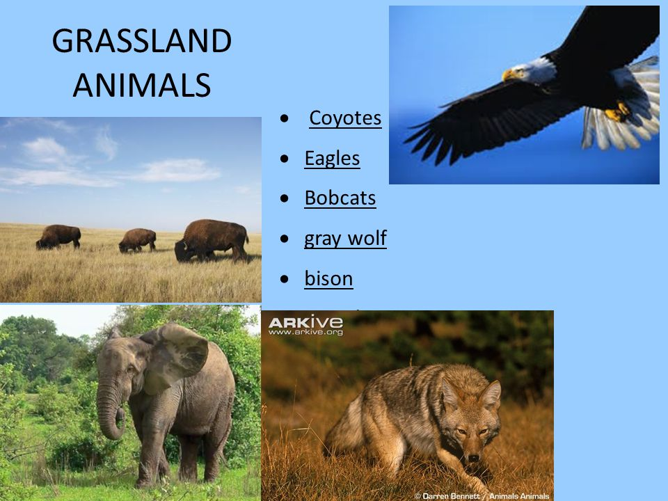 GRASSLAND ANIMALS  Coyotes  Eagles  Bobcats  gray wolf  bison  Canada geese