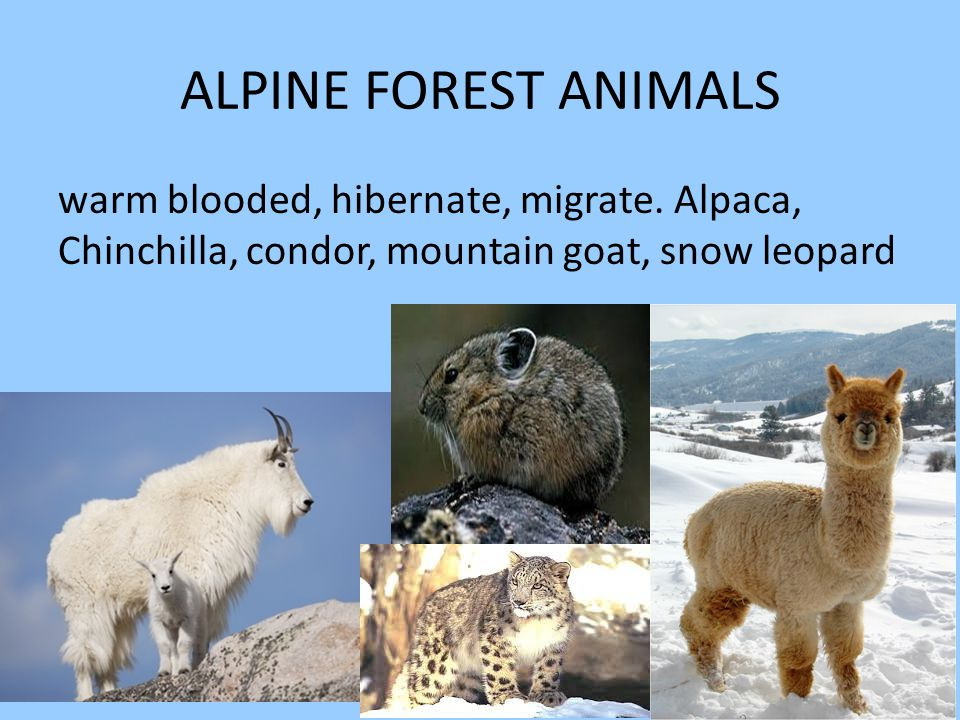 ALPINE FOREST ANIMALS warm blooded, hibernate, migrate.