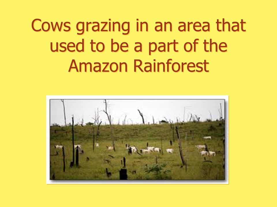 Cows grazing in an area that used to be a part of the Amazon Rainforest