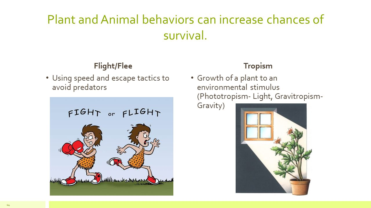 Plant and Animal behaviors can increase chances of survival. Flight/Flee Using speed and escape tactics to avoid predators Tropism Growth of a plant t