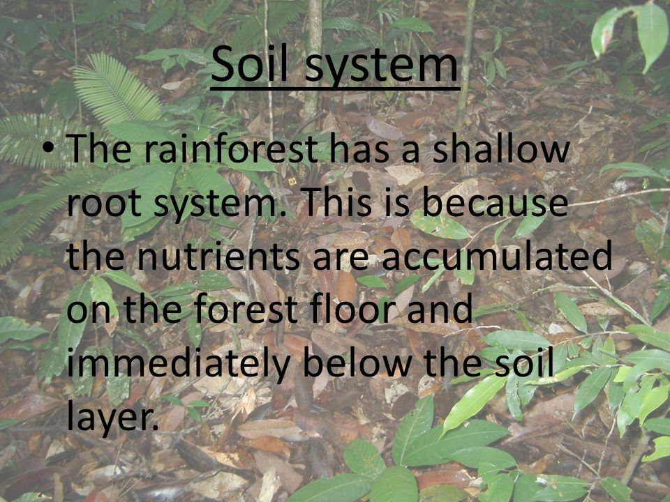 Soil system The rainforest has a shallow root system. This is because the nutrients are accumulated on the forest floor and immediately below the soil
