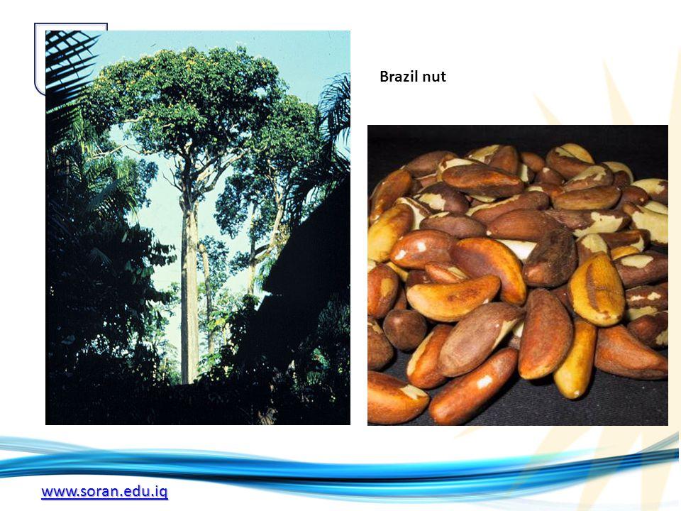 www.soran.edu.iq Brazil nut