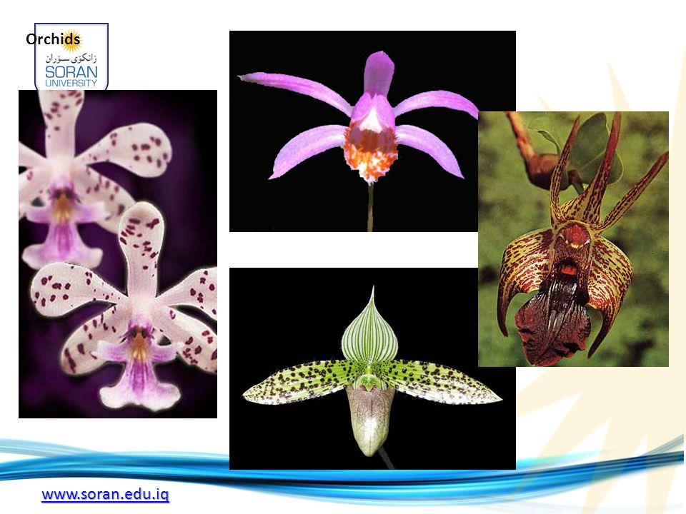 www.soran.edu.iq Orchids