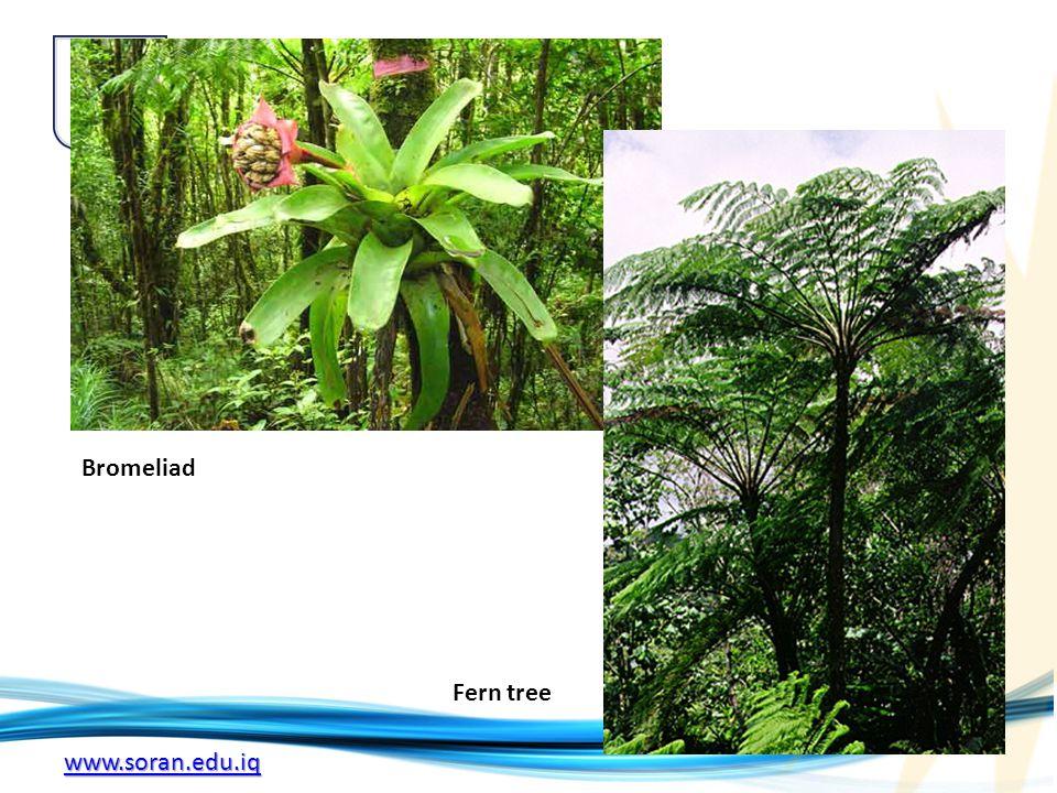 www.soran.edu.iq Bromeliad Fern tree