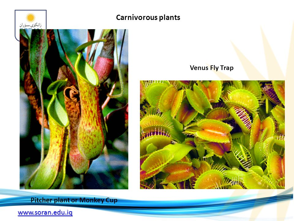 www.soran.edu.iq Carnivorous plants Pitcher plant or Monkey Cup Venus Fly Trap