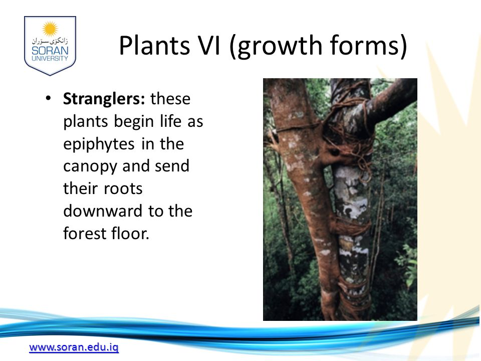 www.soran.edu.iq Plants VI (growth forms) Stranglers: these plants begin life as epiphytes in the canopy and send their roots downward to the forest floor.