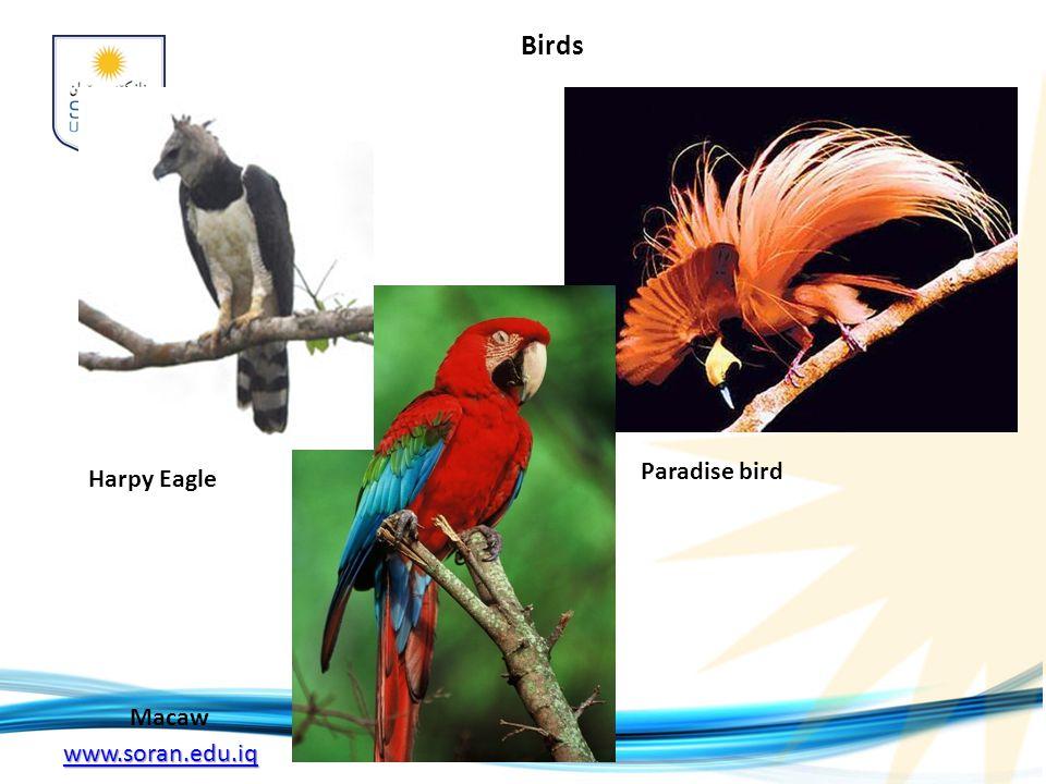 www.soran.edu.iq Harpy Eagle Macaw Birds Paradise bird