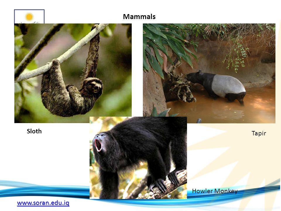 www.soran.edu.iq Mammals Sloth Tapir Howler Monkey