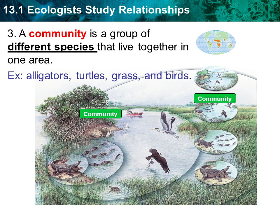 13.1 Ecologists Study Relationships Community 3. A community is a group of different species that live together in one area. Ex: alligators, turtles,