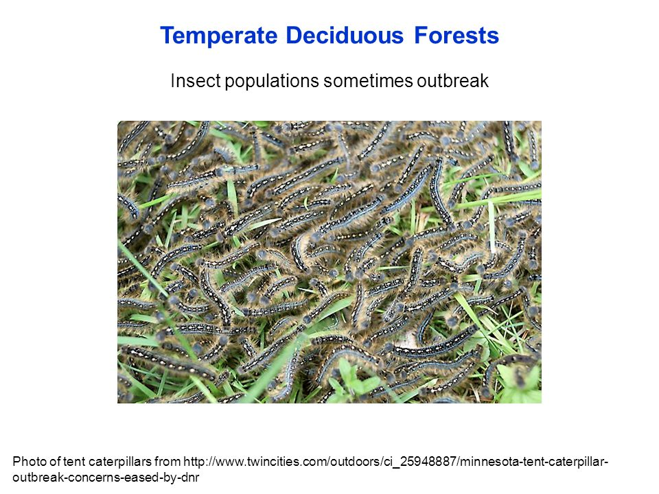 Temperate Deciduous Forests Insect populations sometimes outbreak Photo of tent caterpillars from http://www.twincities.com/outdoors/ci_25948887/minne