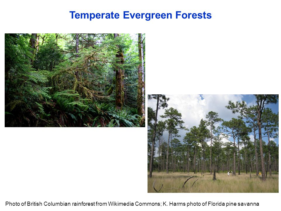 Temperate Evergreen Forests Photo of British Columbian rainforest from Wikimedia Commons; K. Harms photo of Florida pine savanna