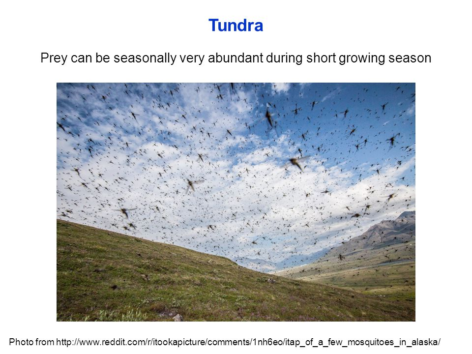 Tundra Prey can be seasonally very abundant during short growing season Photo from http://www.reddit.com/r/itookapicture/comments/1nh6eo/itap_of_a_few_mosquitoes_in_alaska/