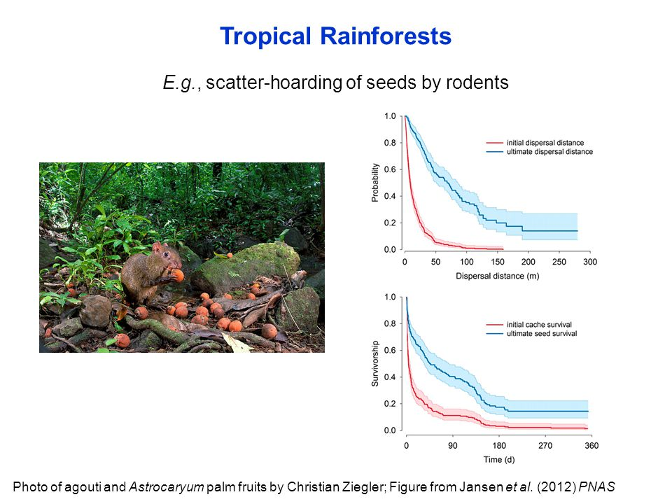 E.g., scatter-hoarding of seeds by rodents Tropical Rainforests Photo of agouti and Astrocaryum palm fruits by Christian Ziegler; Figure from Jansen e