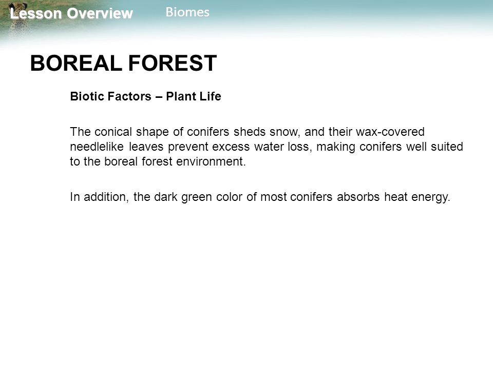 Lesson Overview Lesson OverviewBiomes BOREAL FOREST Biotic Factors – Plant Life The conical shape of conifers sheds snow, and their wax-covered needle