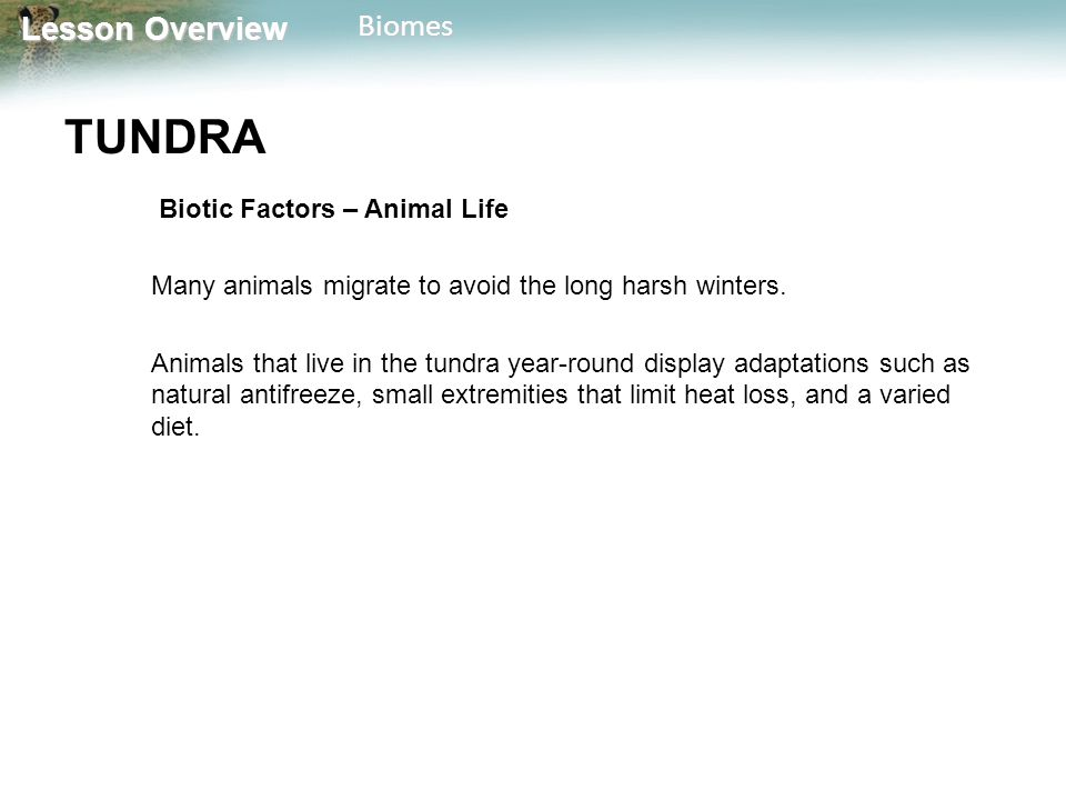 Lesson Overview Lesson OverviewBiomes TUNDRA Biotic Factors – Animal Life Many animals migrate to avoid the long harsh winters. Animals that live in t