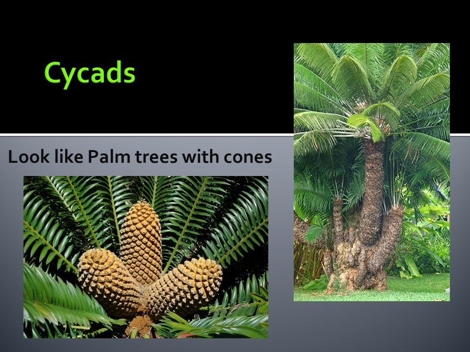 Look like Palm trees with cones