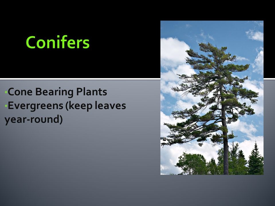 Cone Bearing Plants Evergreens (keep leaves year-round)