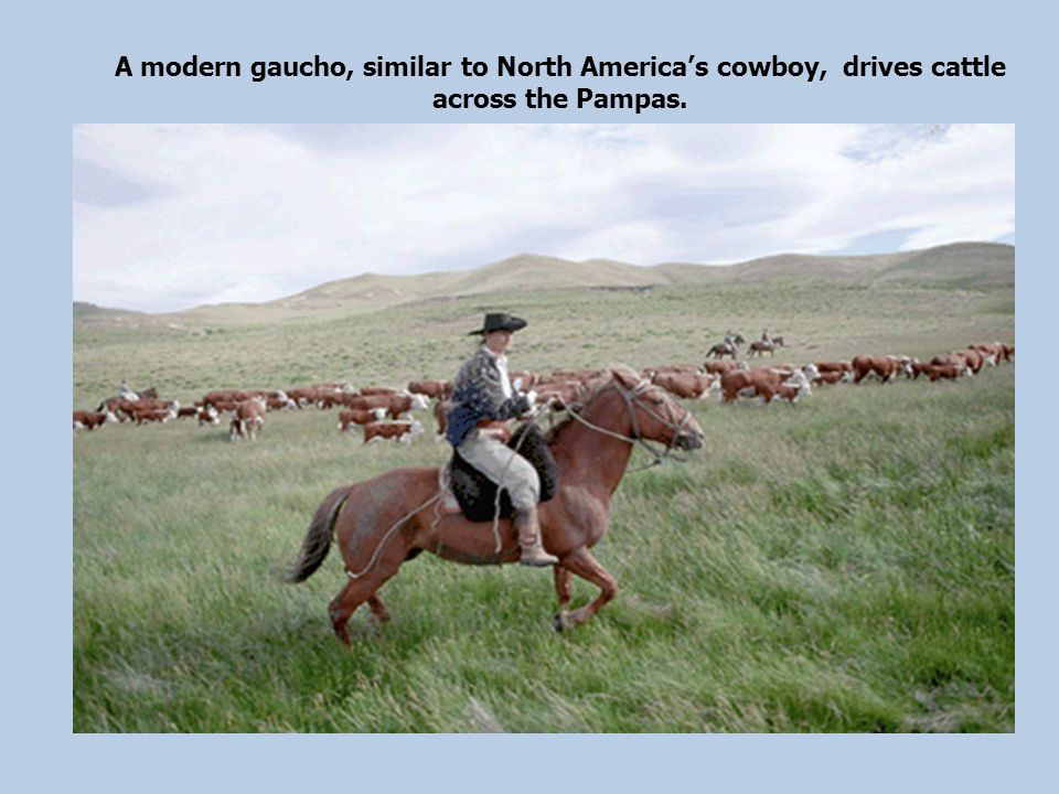 A modern gaucho, similar to North America's cowboy, drives cattle across the Pampas.