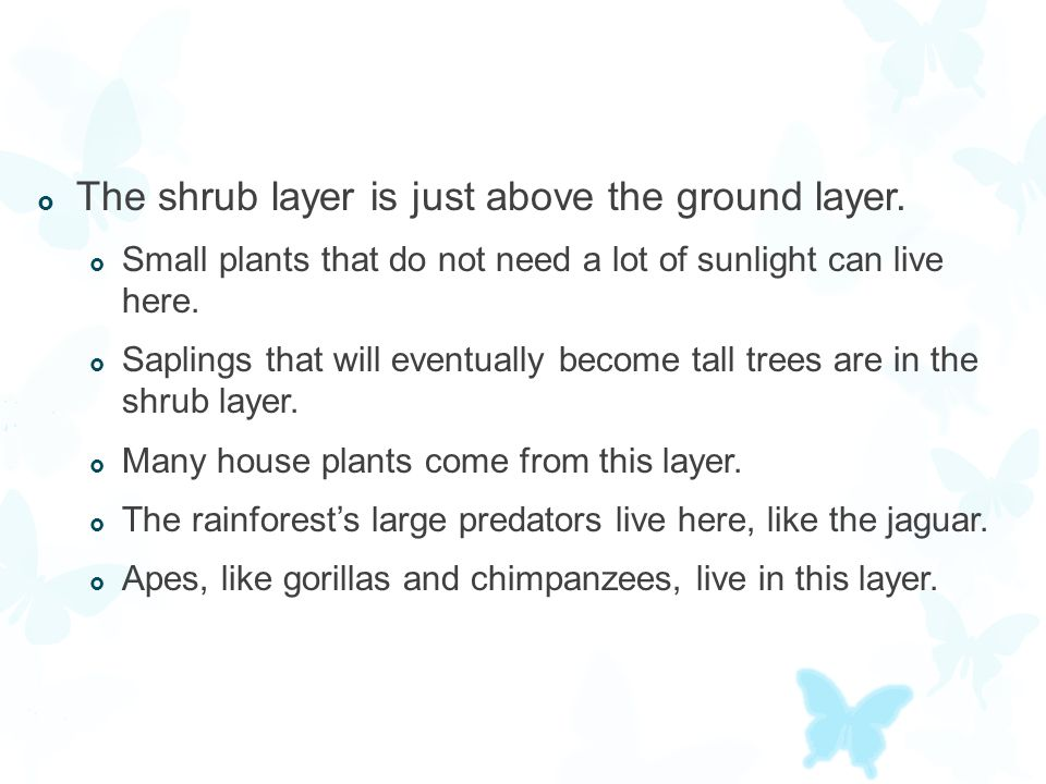  The shrub layer is just above the ground layer.  Small plants that do not need a lot of sunlight can live here.  Saplings that will eventually bec