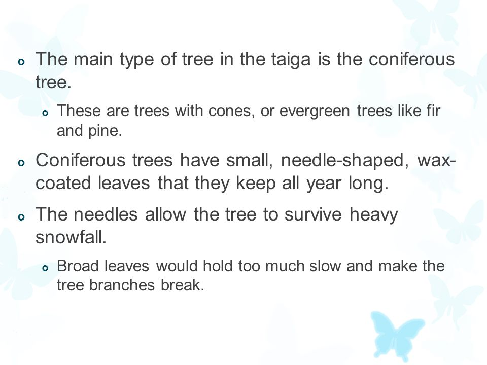  The main type of tree in the taiga is the coniferous tree.  These are trees with cones, or evergreen trees like fir and pine.  Coniferous trees ha
