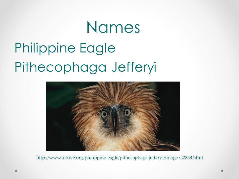 http://www.arkive.org/philippine-eagle/pithecophaga-jefferyi/image-G2853.html Names Philippine Eagle Pithecophaga Jefferyi