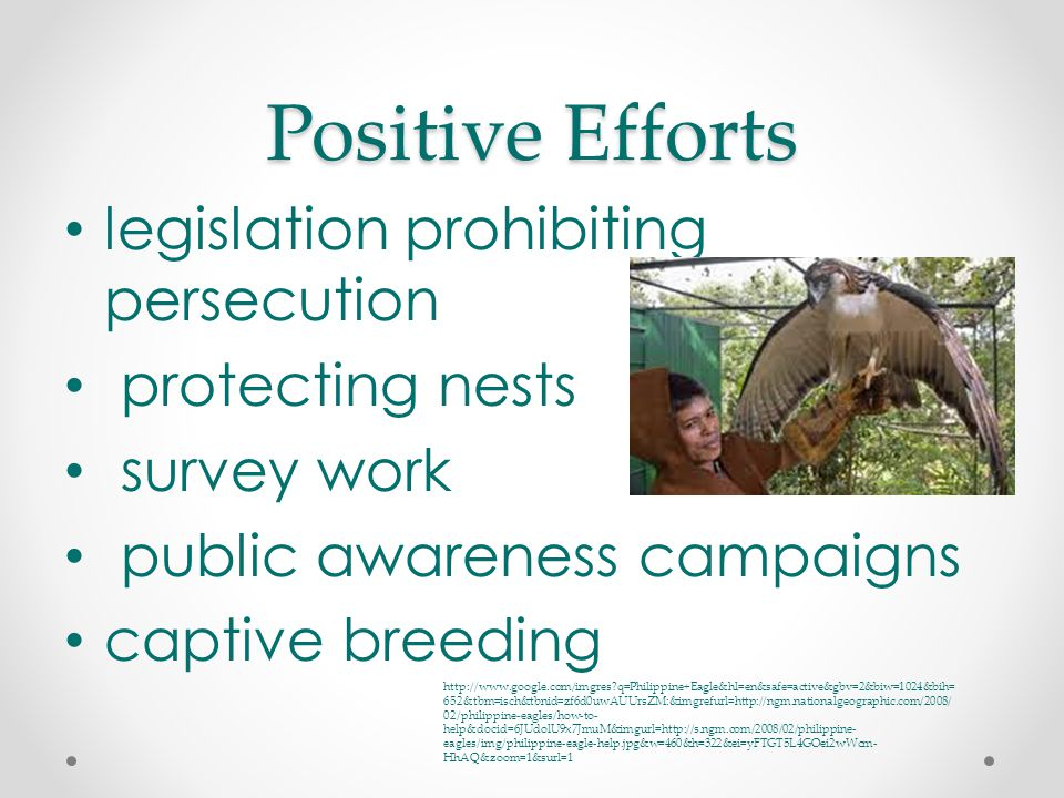 Positive Efforts legislation prohibiting persecution protecting nests survey work public awareness campaigns captive breeding http://www.google.com/imgres q=Philippine+Eagle&hl=en&safe=active&gbv=2&biw=1024&bih= 652&tbm=isch&tbnid=zf6d0uwAUUrsZM:&imgrefurl=http://ngm.nationalgeographic.com/2008/ 02/philippine-eagles/how-to- help&docid=6JUdolU9x7JmuM&imgurl=http://s.ngm.com/2008/02/philippine- eagles/img/philippine-eagle-help.jpg&w=460&h=322&ei=yFTGT5L4GOei2wWcm- HhAQ&zoom=1&surl=1