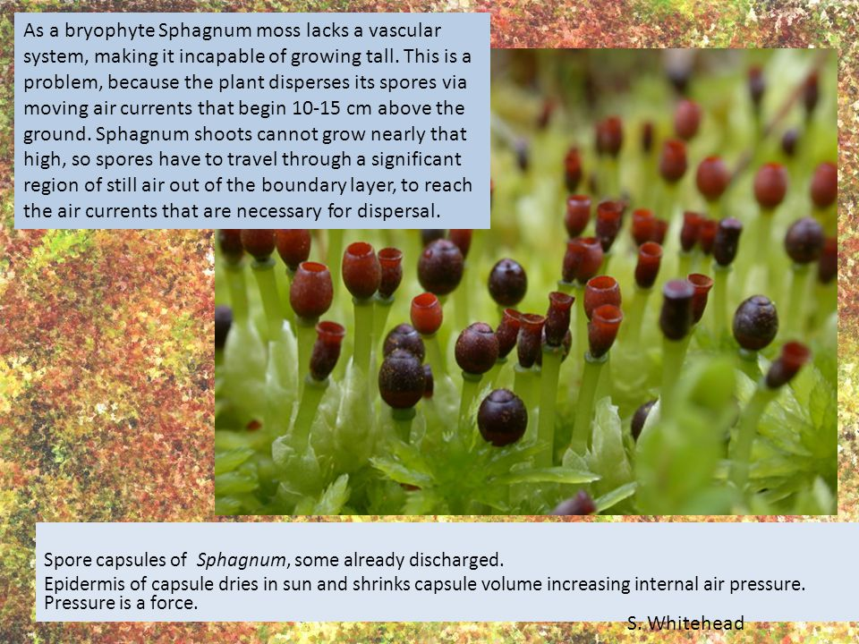Spore capsules of Sphagnum, some already discharged.