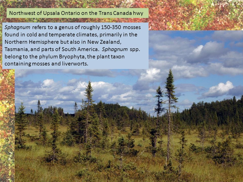 Northwest of Upsala Ontario on the Trans Canada hwy Sphagnum refers to a genus of roughly 150-350 mosses found in cold and temperate climates, primarily in the Northern Hemisphere but also in New Zealand, Tasmania, and parts of South America.