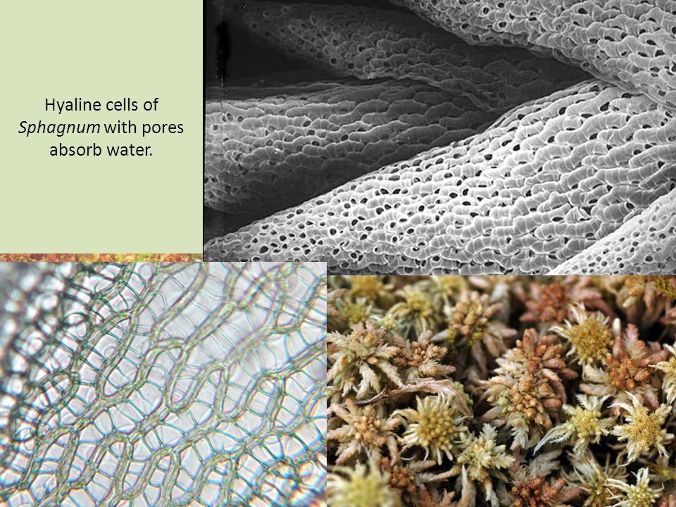 Hyaline cells of Sphagnum with pores absorb water.