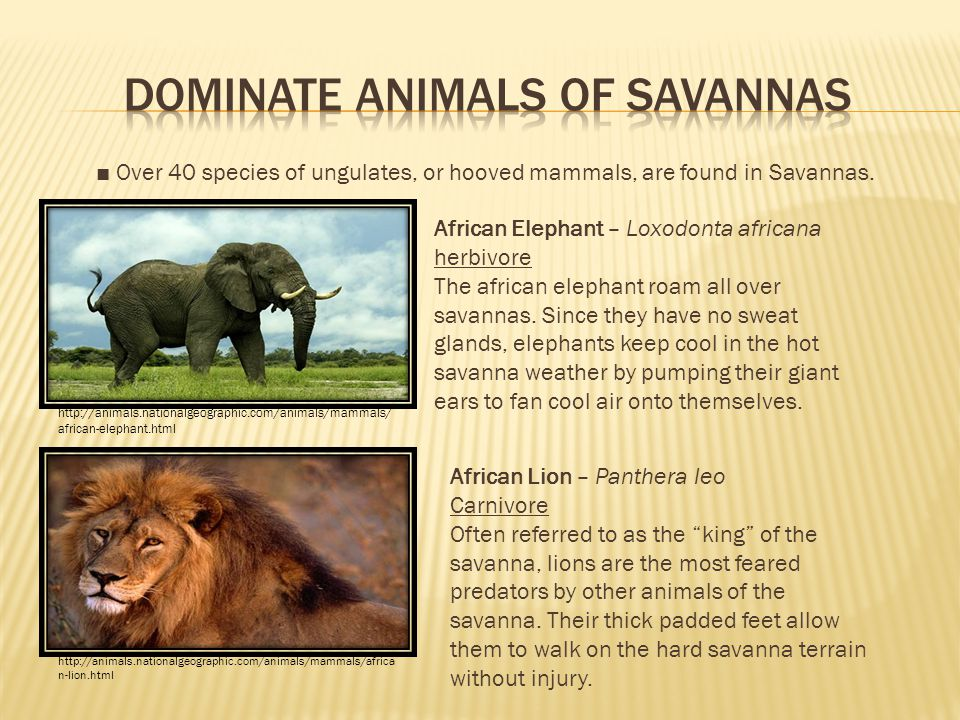■ Over 40 species of ungulates, or hooved mammals, are found in Savannas.