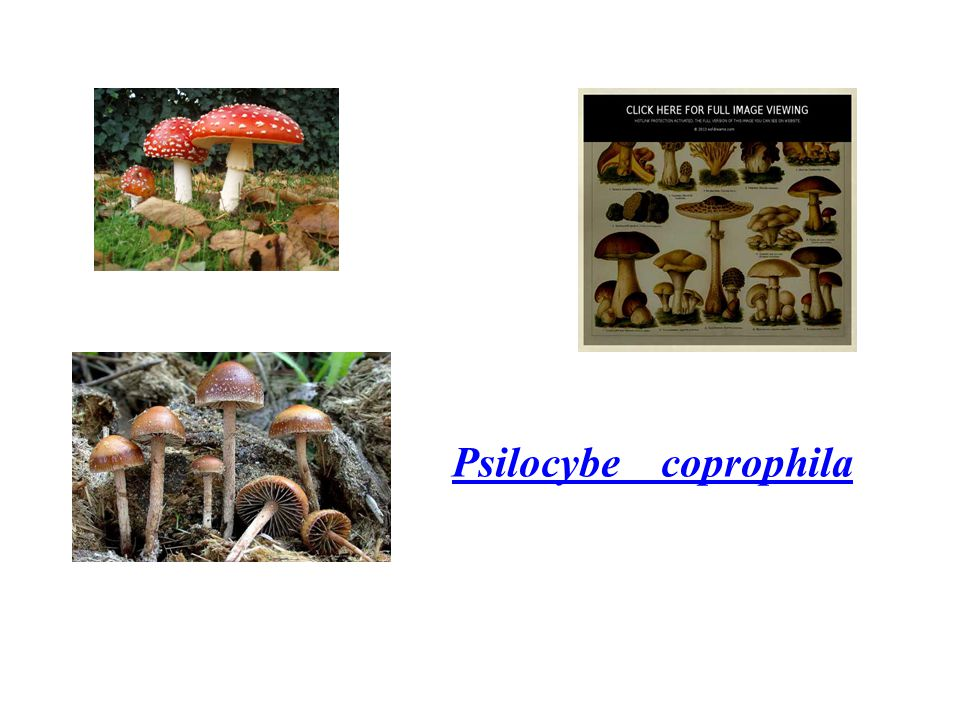 Psilocybe coprophila