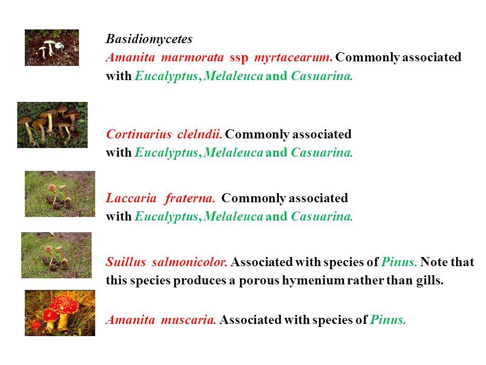 Basidiomycetes Amanita marmorata ssp myrtacearum.