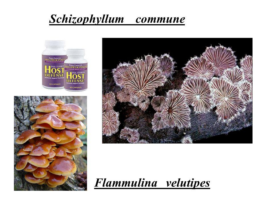 Schizophyllum commune Flammulina velutipes