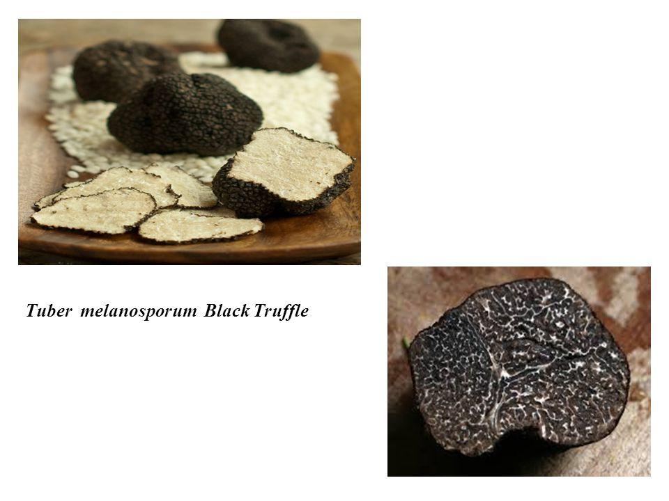 Tuber melanosporum Black Truffle