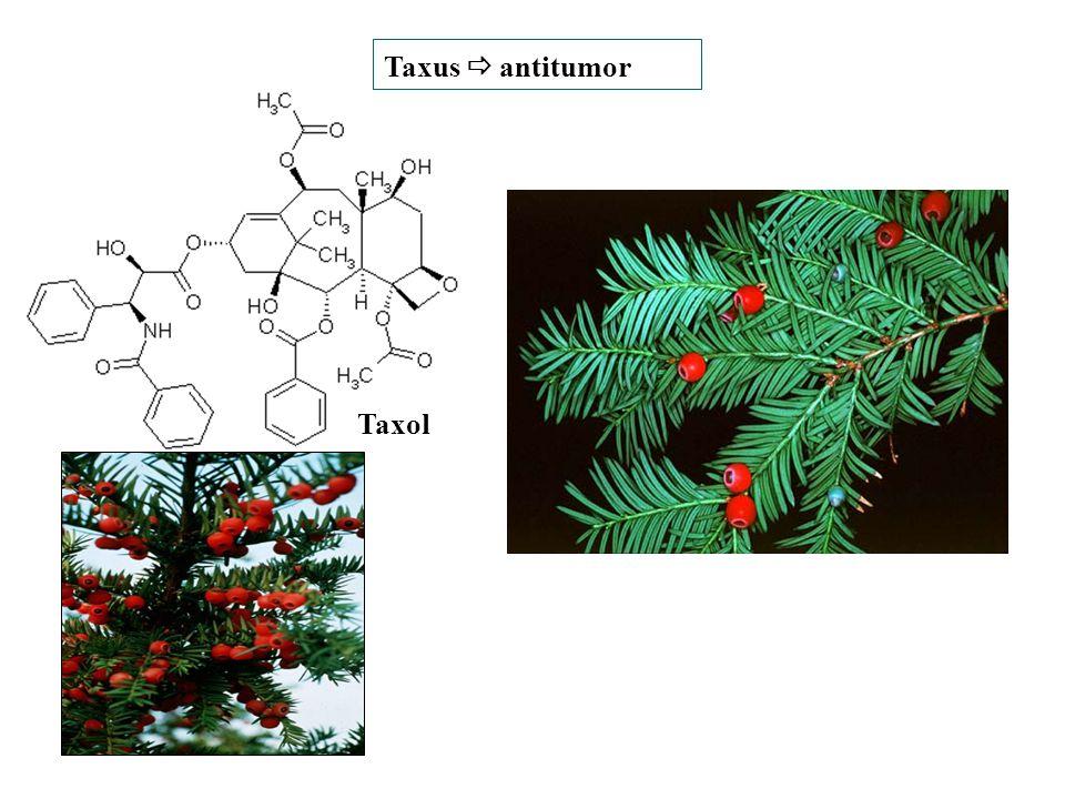 Taxol Taxus  antitumor