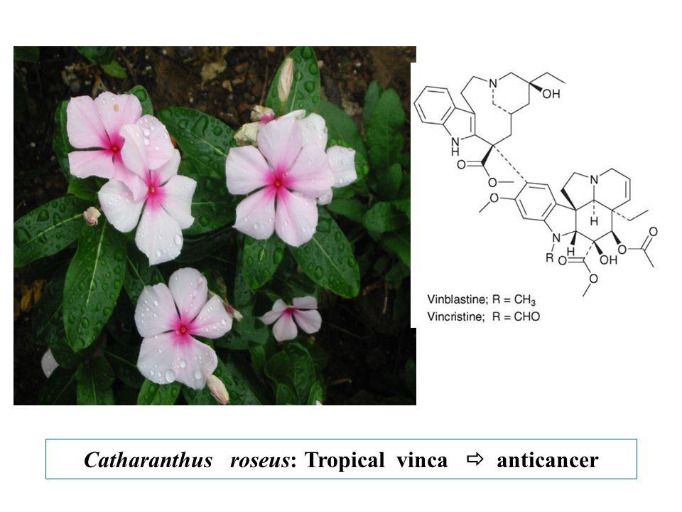 Catharanthus roseus: Tropical vinca  anticancer