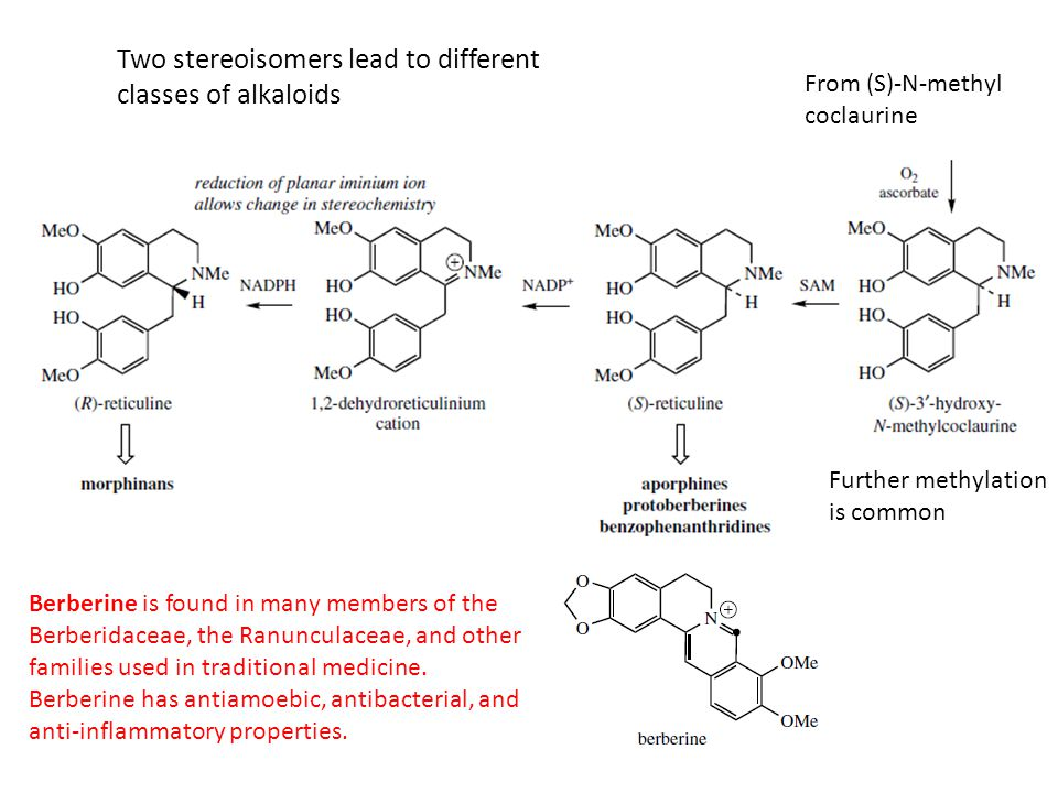From (S)-N-methyl coclaurine Further methylation is common Two stereoisomers lead to different classes of alkaloids Berberine is found in many members