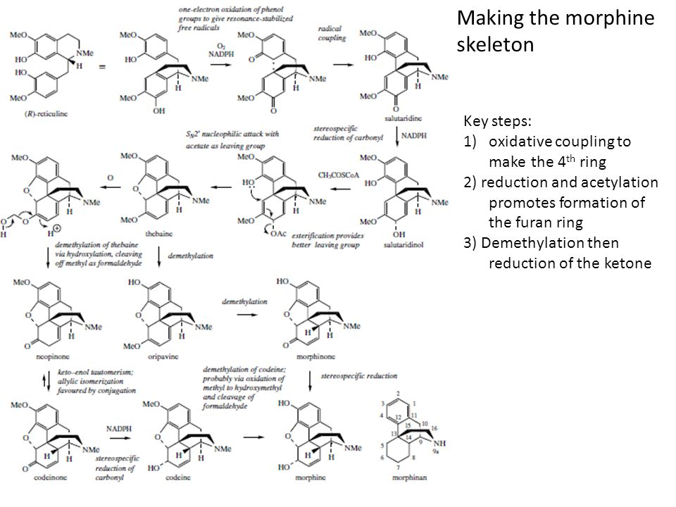 Making the morphine skeleton Key steps: 1)oxidative coupling to make the 4 th ring 2) reduction and acetylation promotes formation of the furan ring 3
