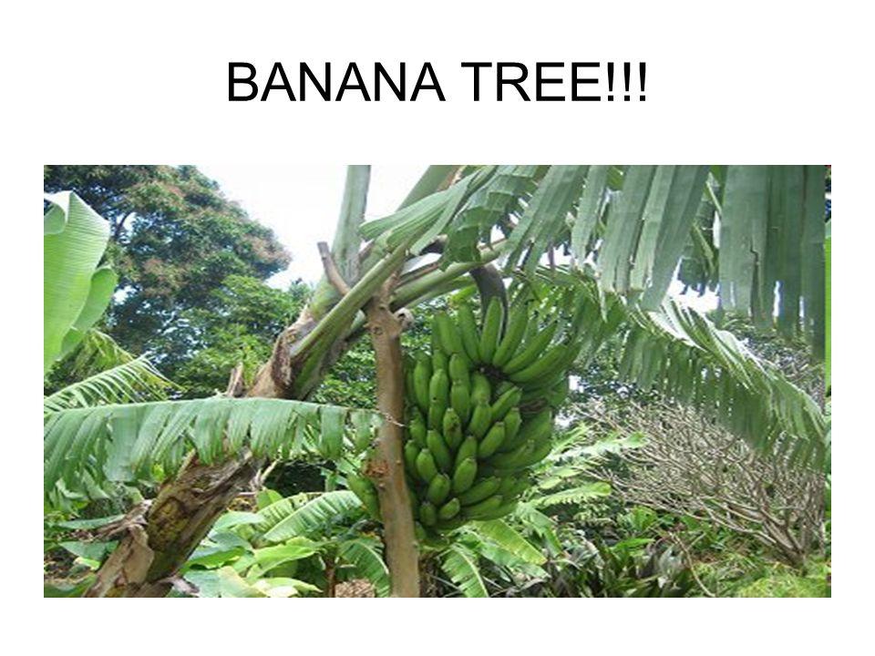 BANANA TREE!!!