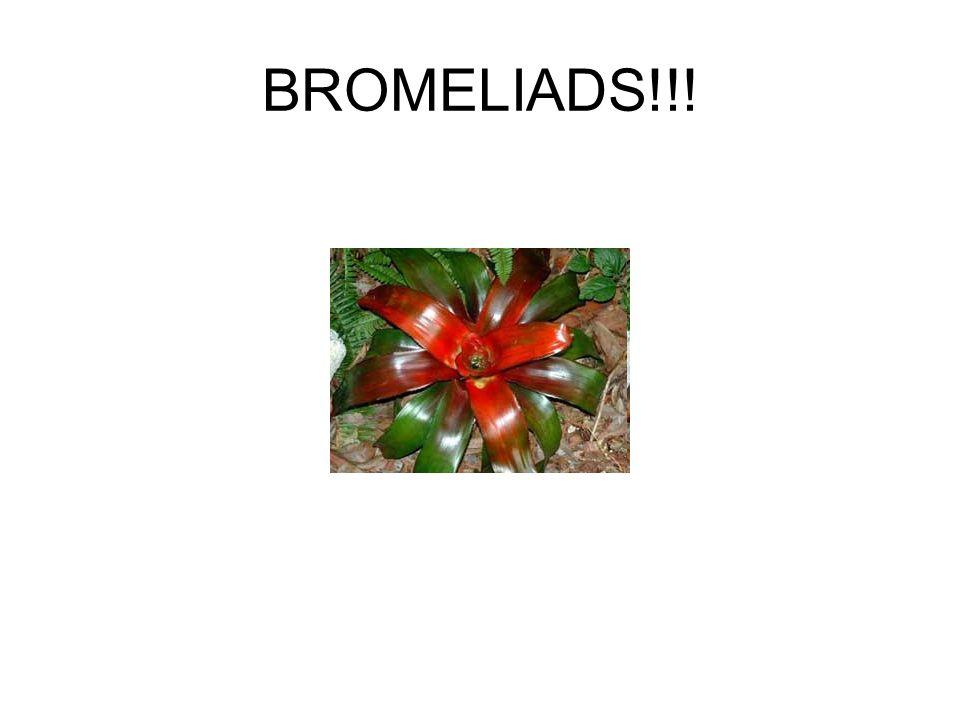 BROMELIADS!!!