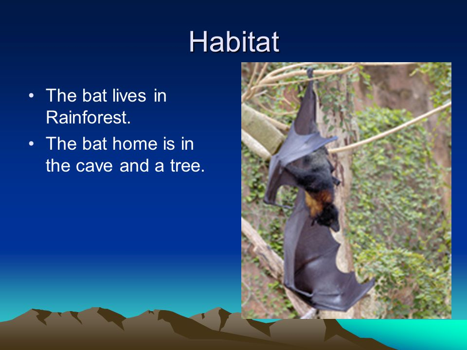 Habitat The bat lives in Rainforest. The bat home is in the cave and a tree.
