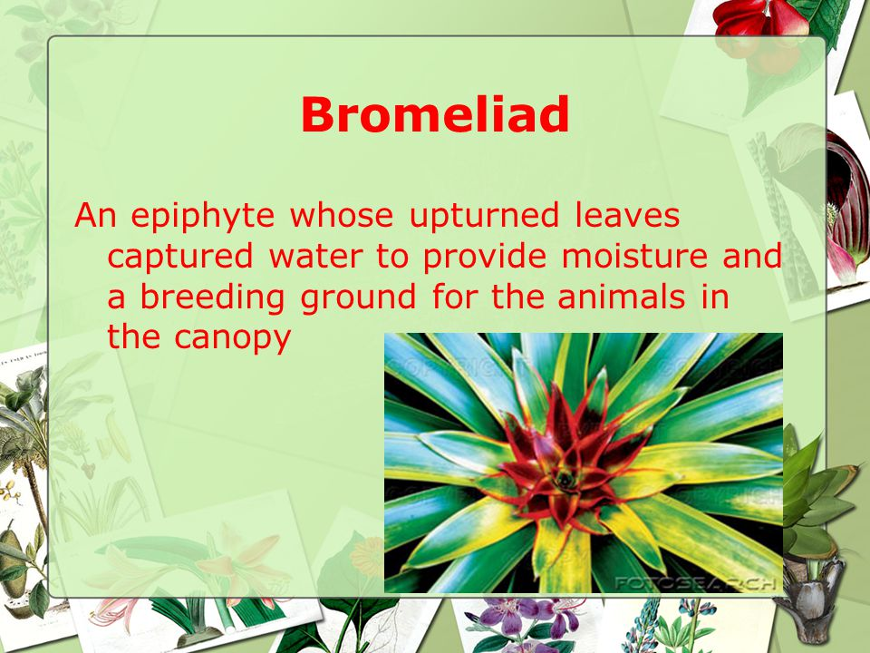 Bromeliad An epiphyte whose upturned leaves captured water to provide moisture and a breeding ground for the animals in the canopy
