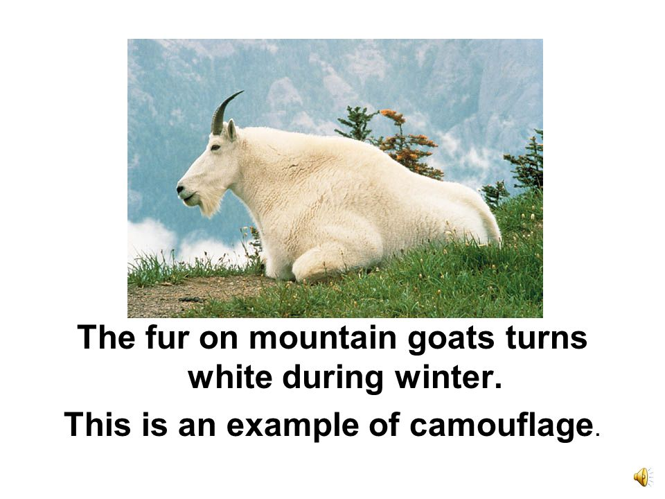 Mountain goats can survive because of their thick wooly coats. They also have sharp hooves to grab the rocks.
